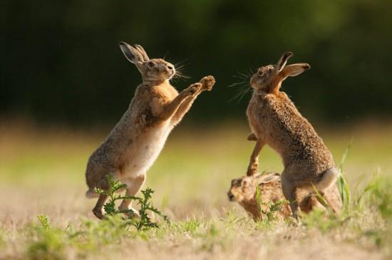 嬉戏野兔击掌求偶