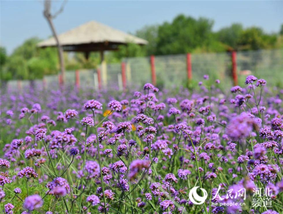 衡水湖畔簇簇鲜花