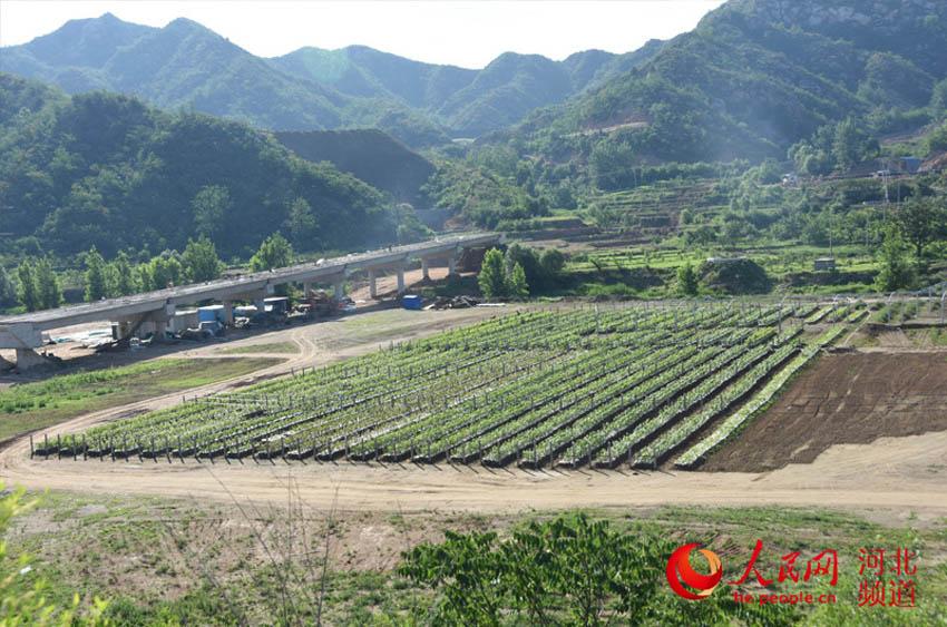 图为平山县南文都村文都·赢谷现代农业旅游园区的葡萄园。付兆飒 摄