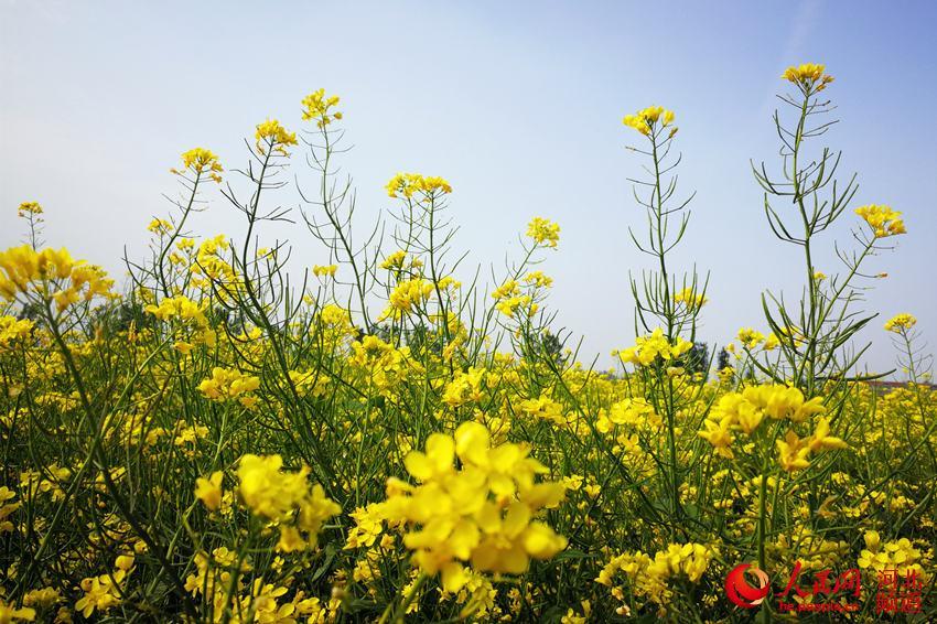 图为竞相绽放的油菜花,展示迷人的风姿。陈汝健 摄