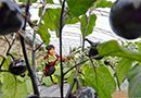 特色种植促农增收