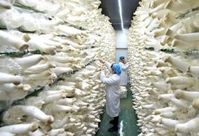 河北邯郸:食用菌产业助力精准扶贫