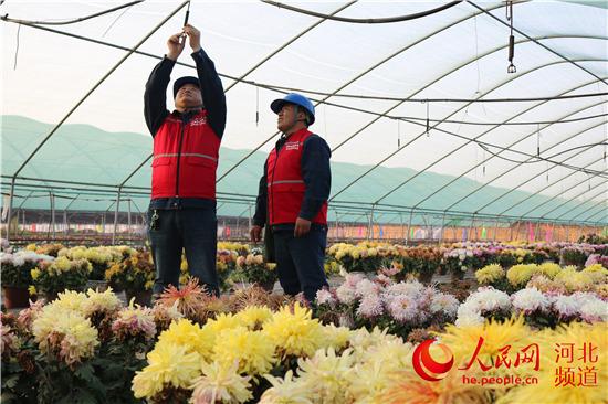 威县电力部门助力菊花文化节展