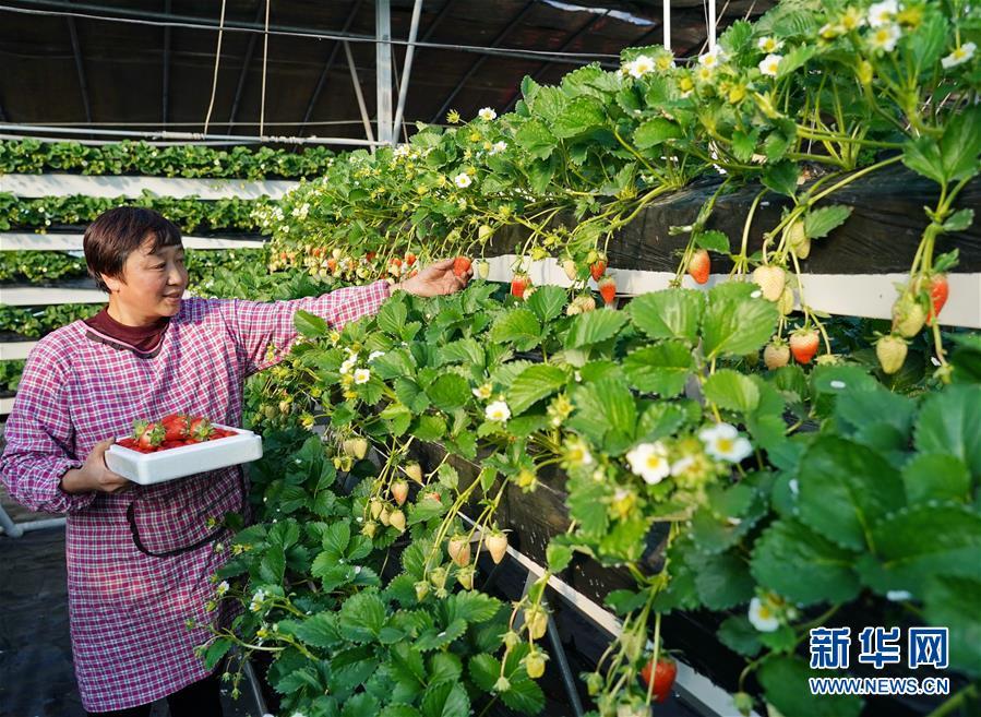 河北昌黎:冬季草莓飄香 取得良好經濟效益