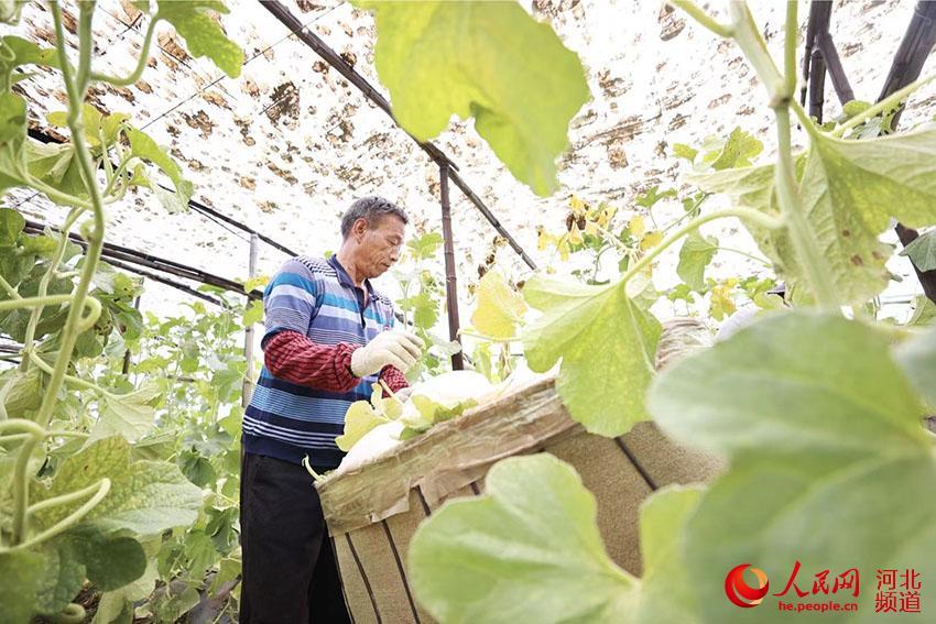 廊坊市安次区杨税务镇大北市村蜜瓜产业基地种植大棚内,农民正采摘蜜瓜。 贾珺摄