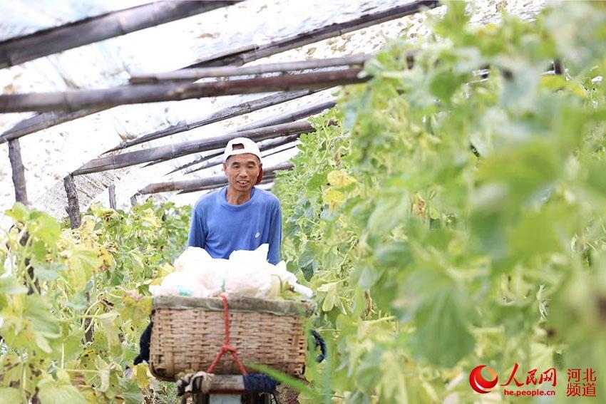廊坊市安次区杨税务镇大北市村蜜瓜产业基地种植大棚内,农民正搬运蜜瓜。 贾珺摄